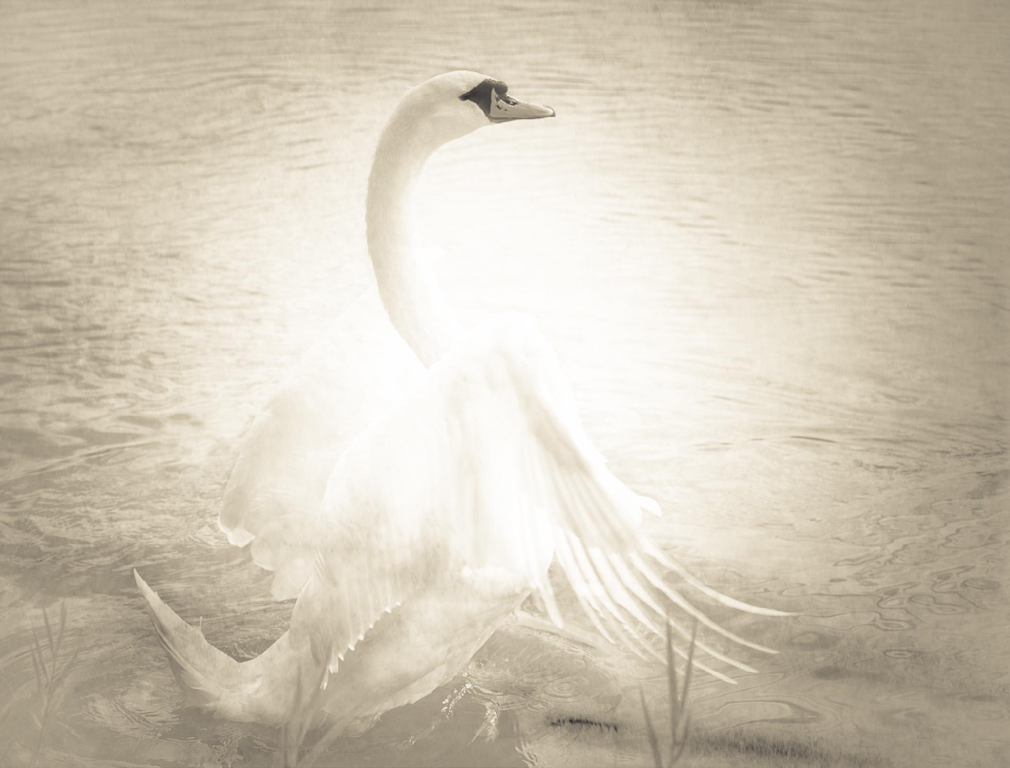 Featured image of post Swan - A True Life Fairy Tale